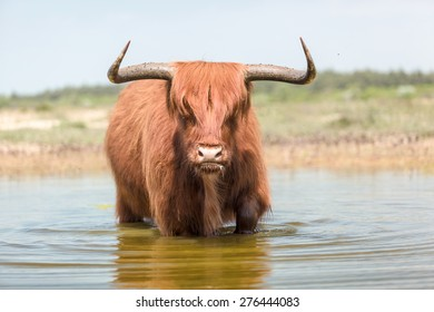 A large angry looking red hair Scottish Highlander bull wades trough water creating wave patterns on the surface.