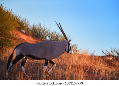 Large antelope with spectacular horns, Gemsbok, Oryx gazella, isolated on the ridge of red dune against blue sky.