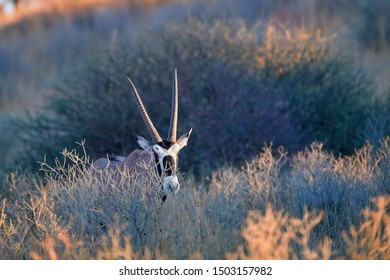 Large antelope with spectacular horns, Gemsbok, Oryx gazella, with head illuminated by rising sun walking in a dune valley, covered in typical desert vegatation,