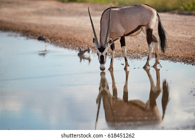 Large antelope with spectacular horns, Gemsbok, Oryx gazella, drinking from a puddle. Wild oryx mirroing in the water.  Kalahari desert, South Africa.
