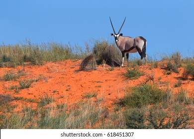Large antelope with spectacular horns, Gemsbok, Oryx gazella, standing on the top of  the red dune against blue sky, staring directly at camera.  Wildlife photography, Kalahari desert, South Africa.