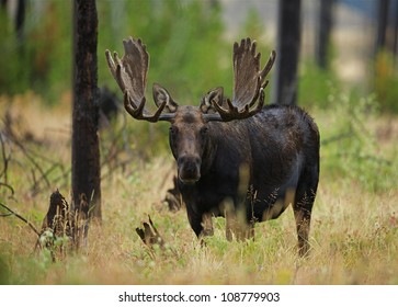 Large Antlered Bull Moose in Yellowstone National Park