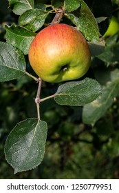 A large apple ripening on a branch