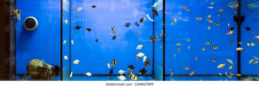 Large aquarium, divided into three parts. Tropical fish - barbat sumatransky, scalar and tetra