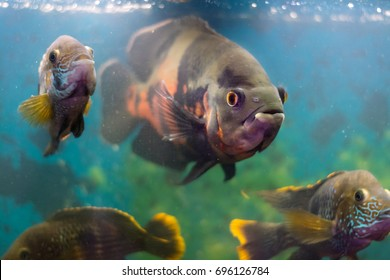 Large aquarium fish Astronotus surrounded by fish of the species of Akar