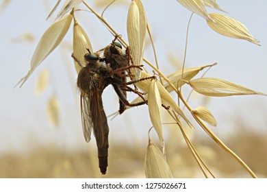 Large assassin fly displaying an act of cannibalism by hunting a member of its own species and sucking its insides through its mouthpart (dry wild yellow wheat bokeh) - Asilidae, the robber fly family