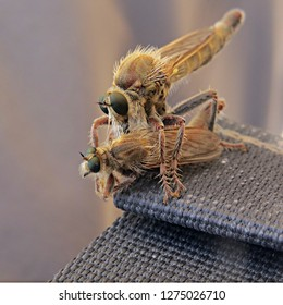 Large assassin fly displaying an act of cannibalism by hunting and pinning down a member of its own species and sucking its insides through its mouthpart - Asilidae, the robber fly family