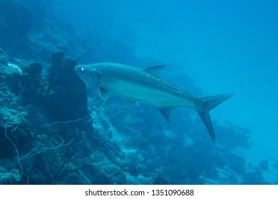 A large atlantic tarpon, who gives a great fishing trophy, seeking prey on the fringing reef of tropical Bonaire island in the caribbean