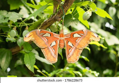 Large Atlas Moth (Attacus atlas) resting in lush green forest.  The Atlas Moth is the largest in the world and only lives for 1 week.