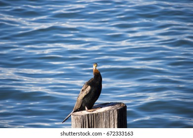 A large Australasian darter or Australian darter (Anhinga novaehollandiae) in darter family is drying its wings on a wooden post in Leschenault Estuary Bunbury Western Australia  on a winter  morning.