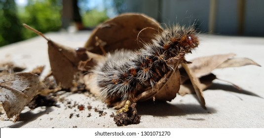 Australian Caterpillars Images Stock Photos Vectors Shutterstock