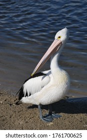 Large Australian Pelicans on the background of blue lake water, Tuncurry, Australia
