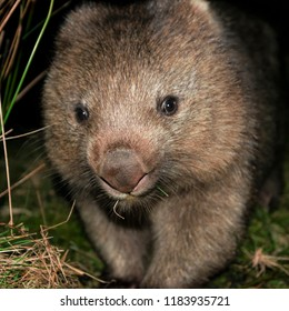 Large Australian wombat found outside at night.