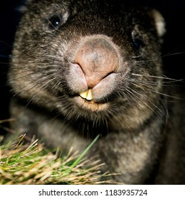 Large Australian wombat found outside at night.