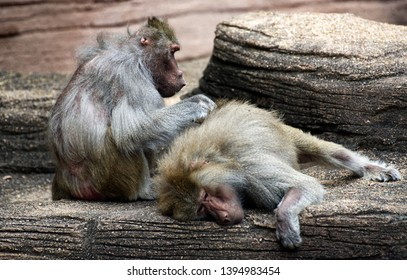 A large baboon grooming another baboon.