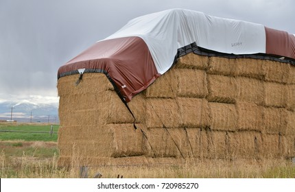 Large bales of alfalfa are stacked in a field with tarpaulin on top as protection against wet weather.