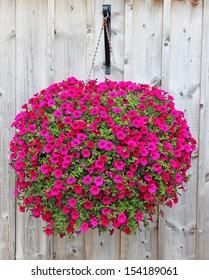 A large ball of dark pink petunias