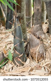 Large Bamboo Shoot Growing in a Botanical Garden Bamboo Forest.