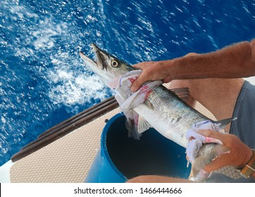Large barracuda on the background of bright blue clear sea water, caught from a sailing yacht on a cruise from Phuket to Similan, Thailand. Big fish in the hands of a fisherman on yacht. Fishing catch