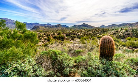 Large Barrel Cactus among Saguaro catuses under a partly blue sky in the desert landscape along the Bartlett Dam Road in Tonto National Forest in Maricopa County, Arizona, United States of America