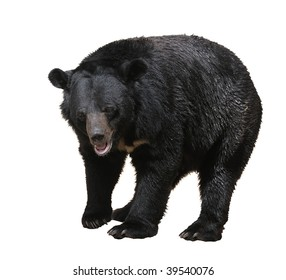 Large bear with black fur at the zoo, isolated.