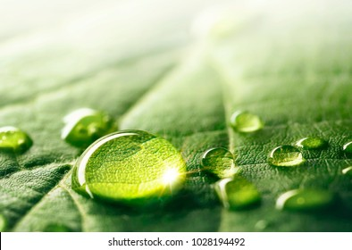 Large beautiful drops of transparent rain water on a green leaf macro. Droplets of water sparkle glare in morning sun . Beautiful leaf texture in nature. Natural background, free space.
