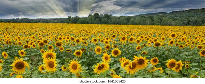 A large beautiful field of sunflowers on a warm summer evening