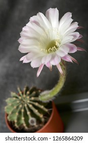 Large beautiful flower cactus bloomed