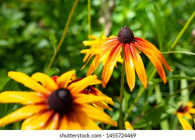 Large beautiful flowers of rudbeckia with raindrops. Wet blooming flowers of yellow and orange rudbeckia (black-eyed susan) on a flower garden in rainy weather. Floral background, selective focus.
