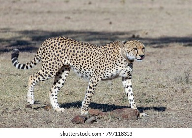 A large beautiful male cheetah