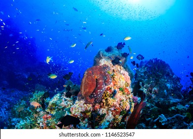 A large beautiful Octopus on a colorful, tropical coral reef