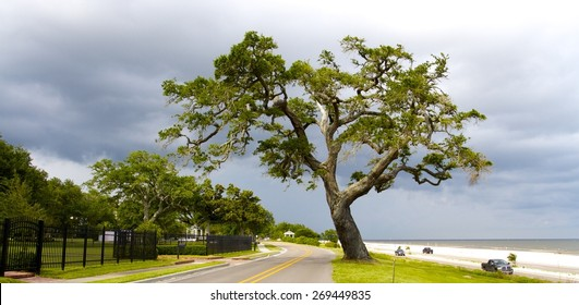 Large beautiful old live oak on highway 90 in Gulfport Mississippi.