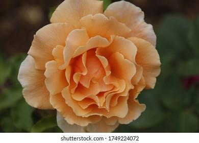Große schöne orangefarbene Rose