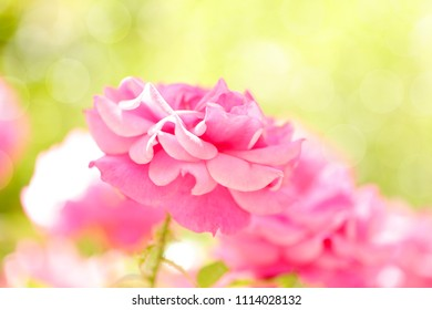 A large beautiful pink rose in a light green bokeh background.