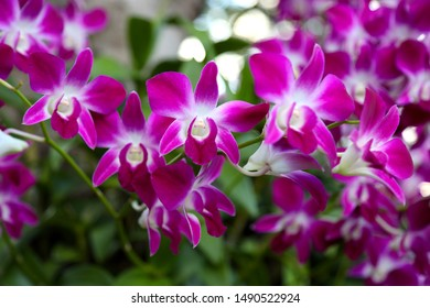 Large beautiful purple orchid flower is the rattan family flower. Tropical flower.