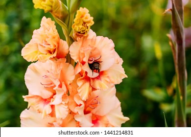 a large bee collects nectar on an orange gladiolus. flowers and bees.