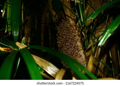 Large bee nest bees nest in large numbers on large trees with hundreds of nest beehives.