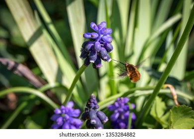 Large Bee-Fly Hovering Before Taking Pollen