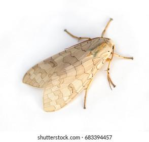 Large beige Tussock Moth (Halysidota genus) on a white background