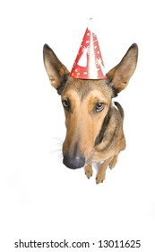Large Belgian Malinois isolated on white with party hat on. Wide angle shot for funny look.