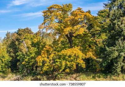 Large bigleaf maple (Acer macrophyllum) in autumn at Billy Frank Jr. Nisqually National Wildlife Refuge.