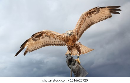 a large bird of prey . The Falcon, ready to hunt, spread its wings against the gray cloudy sky.