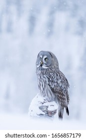 Large bird of prey, Great Grey Owl (Strix nebulosa) sitting on a tree trunk in snowfall in Finnish nature, Northern Europe
