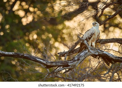 Large bird of prey, Tawny eagle, Aquila rapax perched on branch, looking left against golden light of setting sun coming through tree branches in background. Kruger national park, South Africa.