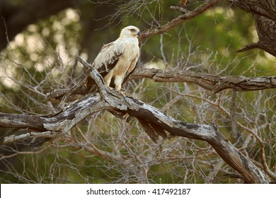 Large bird of prey, Tawny eagle, Aquila rapax perched on branch  against golden light of setting sun coming through tree branches in background. Kruger national park, South Africa.