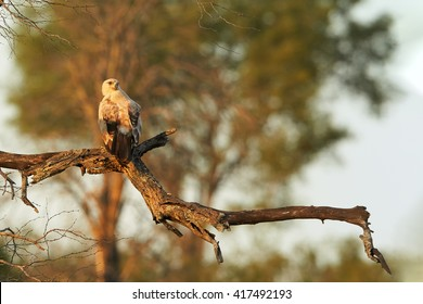 Large bird of prey Tawny eagle, Aquila rapax perched on branch lit by the setting sun against blurred tree in background. Kruger national park, South Africa.