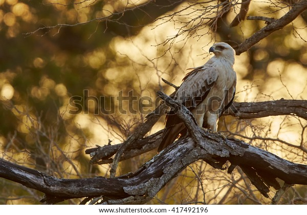 Large bird of prey, Tawny eagle, Aquila rapax perched on branch, with opened beak against golden light of setting sun coming through tree branches in background. Kruger national park, South Africa.