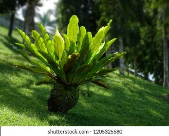 A large birdsnest fern (Asplenium nidus) on a sloping green lawn.
