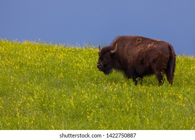 A large bison grazing on prairie wildflowers and lit by afternoon sunshine as a dark storm creates a blue background.