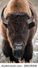 A large bison stares directly at photographer as if to challenge or charge in Yellowstone National Park; full body front shot
